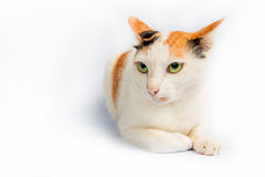 Portrait a cat Royalty Free Stock Photos