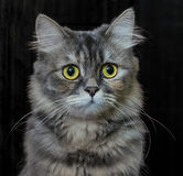 Portrait of a cat. On a dark background stock photography