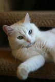 Portrait of a cat with different eyes Royalty Free Stock Image
