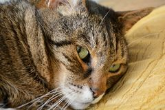 Portrait of cat. Elderly gray tabby cat is resting. Close up portrait Royalty Free Stock Image