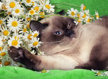 Portrait of cat with flowers Stock Photography