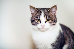Portrait of a cat with golden eyes. Fluffy house cat. Royalty Free Stock Photos