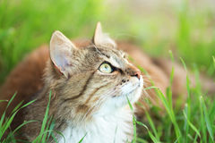 Portrait of a cat in the green grass Stock Photography