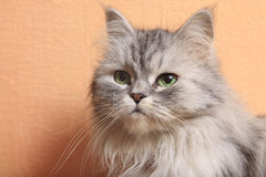 Portrait of a cat royalty free stock photos