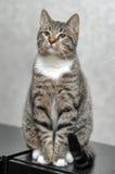 Portrait  cat Stock Photos