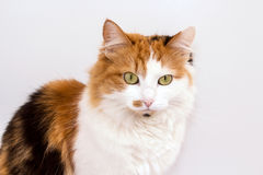 Portrait of a cat Royalty Free Stock Photo