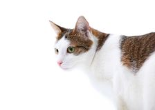 Portrait of cat isolated on white Stock Images