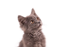 Portrait cat isolated Royalty Free Stock Photography