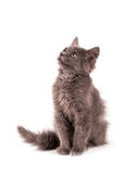 Portrait cat isolated Royalty Free Stock Image