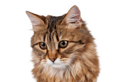 Portrait of cat looking down Royalty Free Stock Image