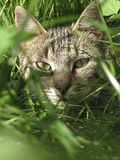 Portrait of a cat looking through the grass Royalty Free Stock Image