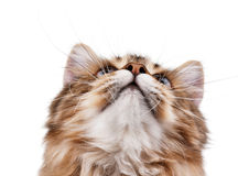 Portrait of cat looking up. Portrait of pretty young cat over white background Stock Photo