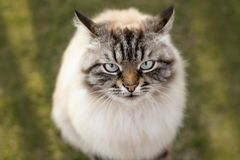 Portrait of a cat looking up with, emotions of animals. Portrait of a beautiful fluffy Siamese cat looking up with boredom and misunderstanding, thoroughbred pet Stock Photos