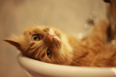 Portrait of a cat lying in the bath. Portrait of cat, washing herself in the bath Royalty Free Stock Photography