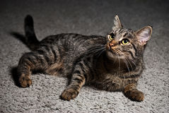 Portrait of a cat lying on the carpet Royalty Free Stock Images
