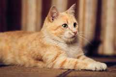Portrait of a cat lying on a carpet i Stock Photo