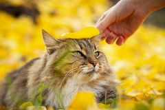 Portrait of a cat lying on the fallen foliage, pet walking on nature in the autumn stock images