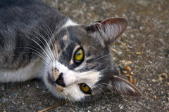 Portrait of a cat lying on the ground staring Stock Photography