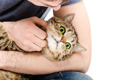 Portrait of a cat lying at the hands a man Royalty Free Stock Photography