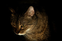 Portrait of a cat at night Royalty Free Stock Image