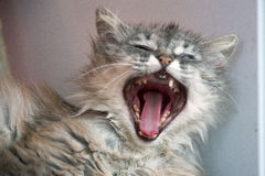 Portrait of cat with open mouth. Yawns sleepy) Stock Photo