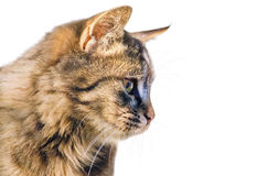 Portrait of the Cat Royalty Free Stock Photography