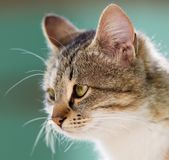 Portrait of a cat Stock Photography