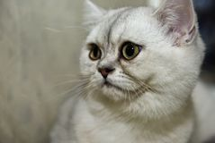 Portrait of a cat IV royalty free stock photography