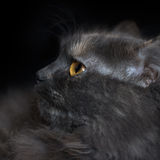 Portrait of a cat in profile Royalty Free Stock Photography