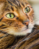 Portrait of cat rare breed of Toyger. Closeup. Toy tiger royalty free stock photos