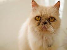 Portrait cat Stock Images