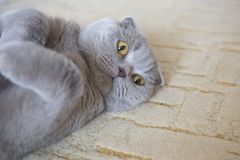 Portrait of a cat relax. Scottish Fold. Portrait of a gray adult cat. Selective focus. cat lies on the carpet royalty free stock images