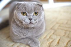 Portrait of a cat relax. Scottish Fold. Portrait of a gray adult cat. Selective focus. cat lies on the carpet royalty free stock image