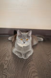 Portrait of a cat. Scotish Shorthair Stock Image