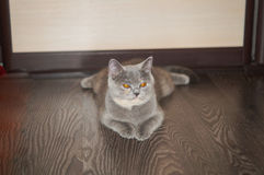 Portrait of a cat. Scotish Shorthair Stock Images