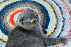 Portrait of a cat of Scottish fold Royalty Free Stock Image