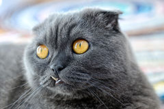 Portrait of a cat of Scottish fold Stock Image