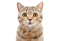 Portrait of a cat Scottish Straight Royalty Free Stock Photo