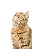 Portrait of a cat Scottish Straight closeup Royalty Free Stock Photos