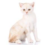 Portrait cat, scottish Straight Royalty Free Stock Photography