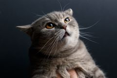 Portrait of cat scottish straight royalty free stock images