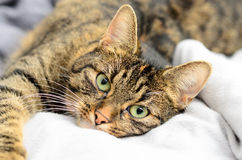 Portrait of a cat. This shot shows a cat lying on a bedcover Stock Photos