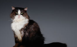 Portrait Of Cat Sitting Royalty Free Stock Images