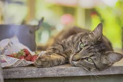 Portrait of a cat with strawberries stock image