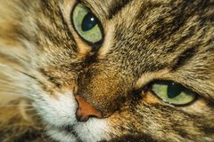 Portrait of a cat. A cat thinks about life eyes are full of hesitation Stock Image