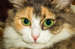 Portrait of a cat. A cat thinks about life eyes are full of hesitation Stock Photo