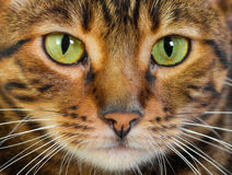 Portrait of cat Toyger, closeup. Portrait of cat rare Toyger breed, closeup. Toy tiger stock photo