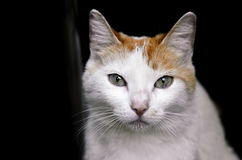 Portrait of the cat. Сute cat on a black background Stock Images