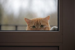 Portrait of cat wants to the house, sad eyes look Royalty Free Stock Images