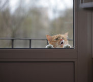 Portrait of cat wants to the house, sad eyes look Royalty Free Stock Image